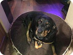 Gilbert, AZ - Rottweiler. Meet Bonnie, a dog for adoption. http://www.adoptapet.com/pet/17320034-gilbert-arizona-rottweiler
