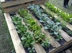 An old wooden pallet... for your vegetable garden. / Une vieille palette...pour votre potager.