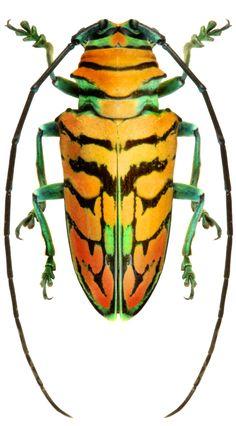 Sternotomis F Cerambycidae Sf Lamiinae