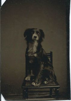 1/6-plate tintype of attentive, border collie-type dog sitting on caned chair. From bendale collection