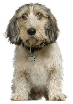 Petit Basset Griffon Vendéen The PBGV, as the breed is referred to, is a down-sized descendent of the larger Griffon Vendéen, also known as the the Grand Basset Griffon Vendéen. The PBGV stands 13 to 15 inches tall. Dogs And Kids, I Love Dogs, Dogs And Puppies, Doggies, Petit Basset Griffon Vendeen, Griffon Dog, Medium Sized Dogs, Medium Dogs, Non Shedding Dogs Medium