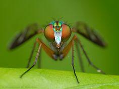 Long-legged fly | Flickr - Photo Sharing!
