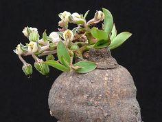 CAUDICIFORM Monadenium gracile