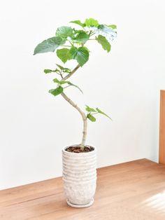 ウンベラータ Bonsai, Foliage Plants, Ficus, Indoor Plants, House Plants, Planting Flowers, Gardening, Interior, Green