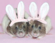 Halloween Costumes. Page 1 For Pet Rats and Pet Rat Care