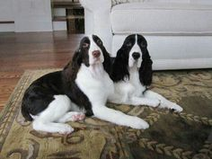 Springer Spaniels - Hope and Rosey Springer Spaniel Puppies, English Springer Spaniel, Cocker Spaniel, Animals And Pets, Baby Animals, Cute Animals, Spaniel Breeds, Dogs And Puppies, Doggies