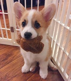 """10k Likes, 40 Comments - Corgi Fan (@thecorgiworld) on Instagram: """"- If I give you my toy, do you promise you'll throw it? ☺️☺️☺️ - Share in DM if You Love this post…"""""""