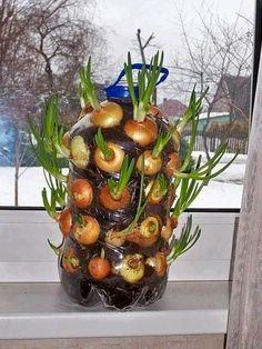 Das ganze Jahre Zwiebeln in der eigenen Wohnung anbauen? Das geht! - KlickDasVideo.de