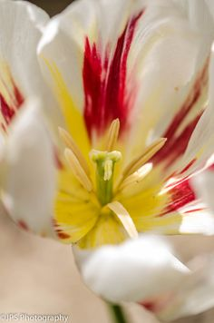 JPS Photography1 posted a photo:  macro white tulip Canberra tulip gardens