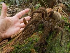 The Goliath bird-eating spider (South America) weighs in at 170 grams and has a leg span of 30 centimeters.