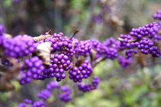 Callicarpa 'Issai'    Why. WHY is this plant so PERFECT?!