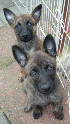 hollandse herder pups | by moniek de jager