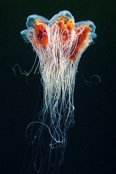 Cyanea capillata by Alexander Semenov, via Flickr