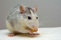 Husky Ratte