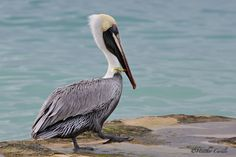 #ChickPicotheDay! (Day 1,436) #Pelican Pete tries to #tiptoe away from me. Poor little #dude had a fishing lure stuck in his neck. He looked healthy, hung around for a mini photo shoot and off he flew. #LiveLongandProsper