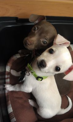 dangerously adorable #chihuahua #puppies