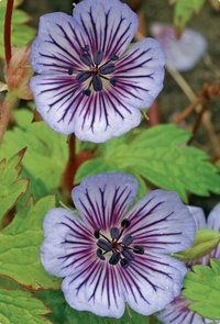 Crystal Lake Hardy Geranium  height 20 inches