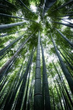 """""""Bamboo Forest"""" by Hal Yamaguchi Bamboo Tree, Tree Wall Art, Tree Photography, Outdoor Photos, Environment Concept Art, Tree Tops, Photo Reference, Amazing Nature, Forests"""