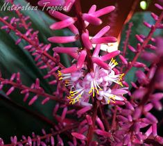 Flores de la Polinesia, Cordyline fruticosa o Cordyline terminalis
