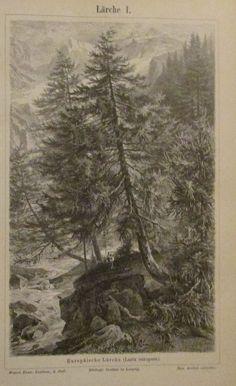1896 LÄRCHE I. und II. 2 Original Drucke Antique Print Lithographie