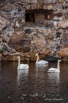 Swans, Ducks, Outdoor, Outdoors, Swan, Outdoor Games, Outdoor Living