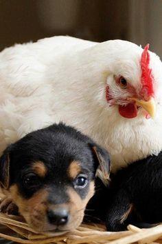 Snuggled up under mother hen