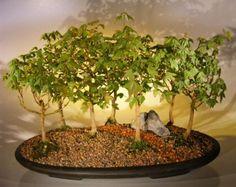 5 Quercus palustris Bonsai Seeds - Pin Oak -
