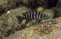 Pics For > Neolamprologus Cylindricus Tropical Aquarium, Tropical Fish, Cichlid Fish, Discus, Victoria Lake, Lake Tanganyika, Monster Fishing, Freshwater Aquarium Fish, Fishing Pictures