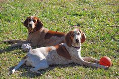 red tick coonhound | Recent Photos The Commons Getty Collection Galleries World Map App ...