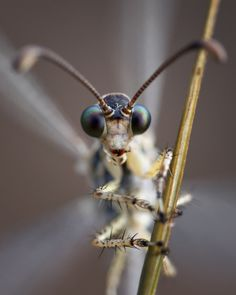 Here is a closeup of the adult antlion's face. This Photographer has some fantastic pictures!