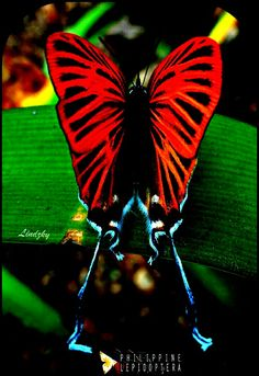 Awesome sensational beauty🦋of a glorious delicate butterfly 🦋 Cool Insects, Bugs And Insects, Beautiful Bugs, Beautiful Butterflies, Beautiful Pictures, Butterfly Kisses, Butterfly Wings, Beautiful Creatures, Animals Beautiful