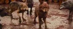 Twailight-werewolves