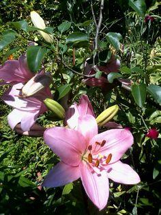 Lilium dal mio giardino.