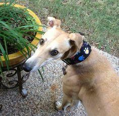 Happy Third Gotcha Day to Clara!  #greyhounds #galtx