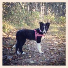Havskumteppe | Trine's blog Boston Terrier, Dogs, Animals, Boston Terriers, Animales, Animaux, Pet Dogs, Doggies, Animal