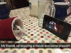 Film buff: A rat was pictured snuggled up in a sleeve nibbling on popcorn as it watched Ratatouille on a smartphone