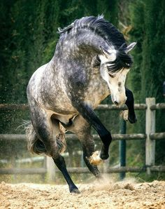 ^^Check out the link to read more about horse riding lessons. Click the link to find out more****** Viewing the website is worth your time. Cute Horses, Pretty Horses, Horse Love, Most Beautiful Horses, Animals Beautiful, Dapple Grey Horses, Animals And Pets, Cute Animals, Andalusian Horse