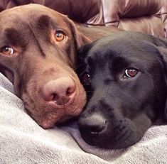 These Labrador Retrievers are looking so sweet as they cuddle together!