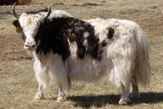 Royal Yak Cow Photo | Tibetan Yak Photos-Pictures-Images | Yaks For Sale
