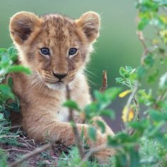 So cute! Lion Pictures, Cute Animal Pictures, Beautiful Cats, Animals Beautiful, Cute Baby Animals, Animals And Pets, Big Cats, Cute Cats, Cute Tiger Cubs