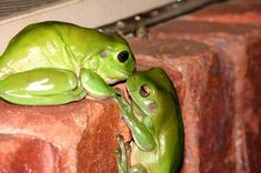 Not every frog you kiss turns out to be a prince.kiss a few. Animals Kissing, Cute Animals, Animal Pictures, Cool Pictures, Whites Tree Frog, Cute Frogs, Frog And Toad, Frog Frog, Reptiles And Amphibians