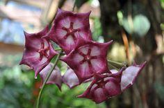 Rare Phalaenopsis Orchid   Le Orchidee Rare - Phalaenopsis - orchidee