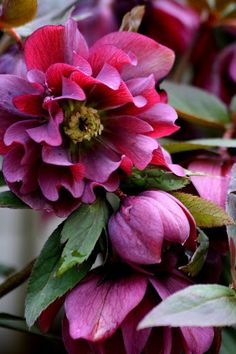 Wonderful photo of a more pink hellebore thanks to Rosemarys Blog. We have many types of Hellebores here at Lewis Ginter Botanical Garden, but Ive never seen one like this before!