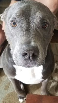 This adorable pitbull puppy will warm your heart. Dogs are amazing friends. Amstaff Terrier, Bull Terrier Dog, Cute Puppies, Cute Dogs, Dogs And Puppies, Doggies, Corgi Puppies, Beautiful Dogs, Animals Beautiful