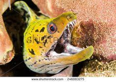Fimbriated moray eel in Ambon, Maluku, Indonesia underwater photo. Fimbriated…