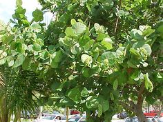 sea-grape-noun pg.126 Coccoloba uvifera is a species of flowering plant in the buckwheat family, Polygonaceae, that is native to coastal beaches throughout tropical America and the Caribbean, including southern Florida, the Bahamas, Barbados and Bermuda.  I saw some sea-grapes in the east part of the Caribbean on my cruise ship vacation.  synonyms- none  antonyms- none