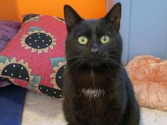 Adopt a Homeless Cat | Jelly Bean | Domestic Short Hair-Black | Furrever Friends Rescue & Volunteers, Inc.
