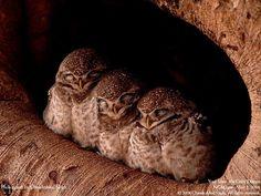 10 Best Baby Owl Sleeping So Cute Images Owl Baby Owls Cute Owl