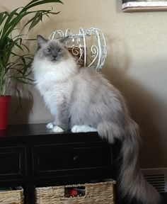 Caring for a Ragdoll Cat - Cat's Nine Lives Pretty Cats, Beautiful Cats, Cute Cats And Kittens, Kittens Cutest, Ragdoll Cat Breed, Cat Entertainment, Super Cute Animals, Fluffy Cat, Cat Breeds