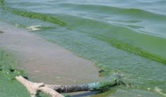 Lake Winnipeg designated as most threatened lake in the world in A picture from July showing blue-green algae appearing on beaches in the South Basin of Lake Winnipeg. Brooklyn Library, Lake Winnipeg, Story Video, Ohio, Green Algae, Around The Worlds, Canada, Shit Happens, Water